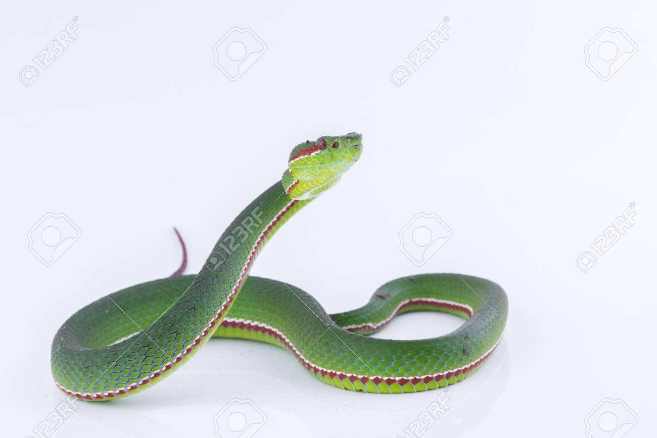 Green pit viper bites on white background ,Snake of Thailand - 93687368