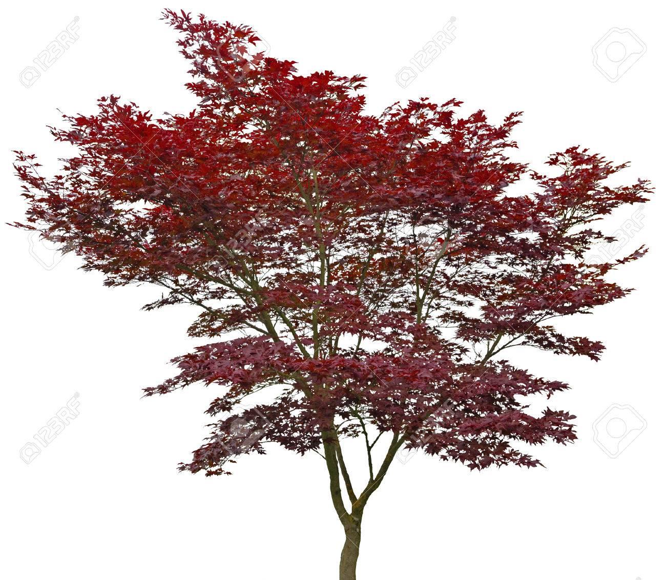 Red Japanese Maple 20 Years Old Acer Palmatum Atropurpureum Stock