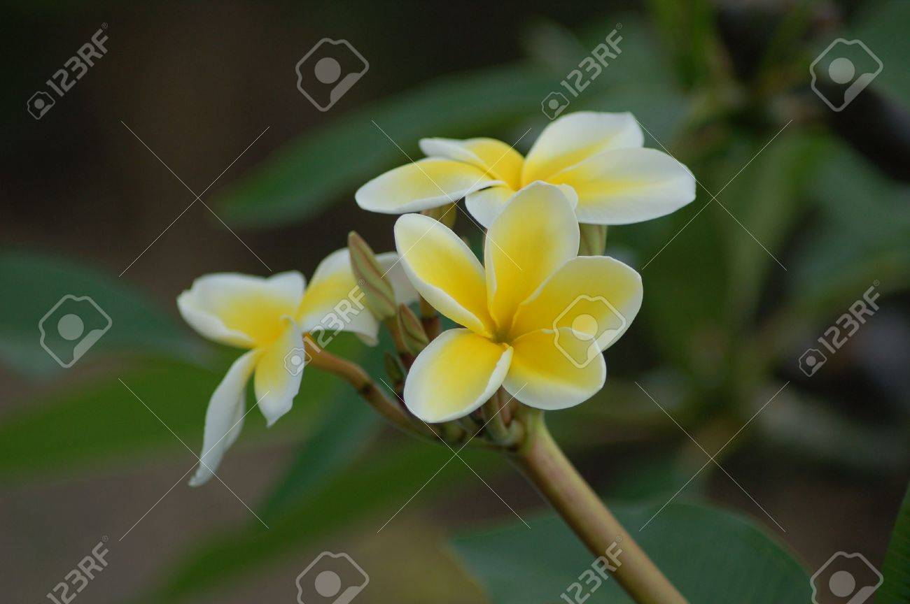 White And Yellow Flowers From Hawaii Stock Photo Picture And