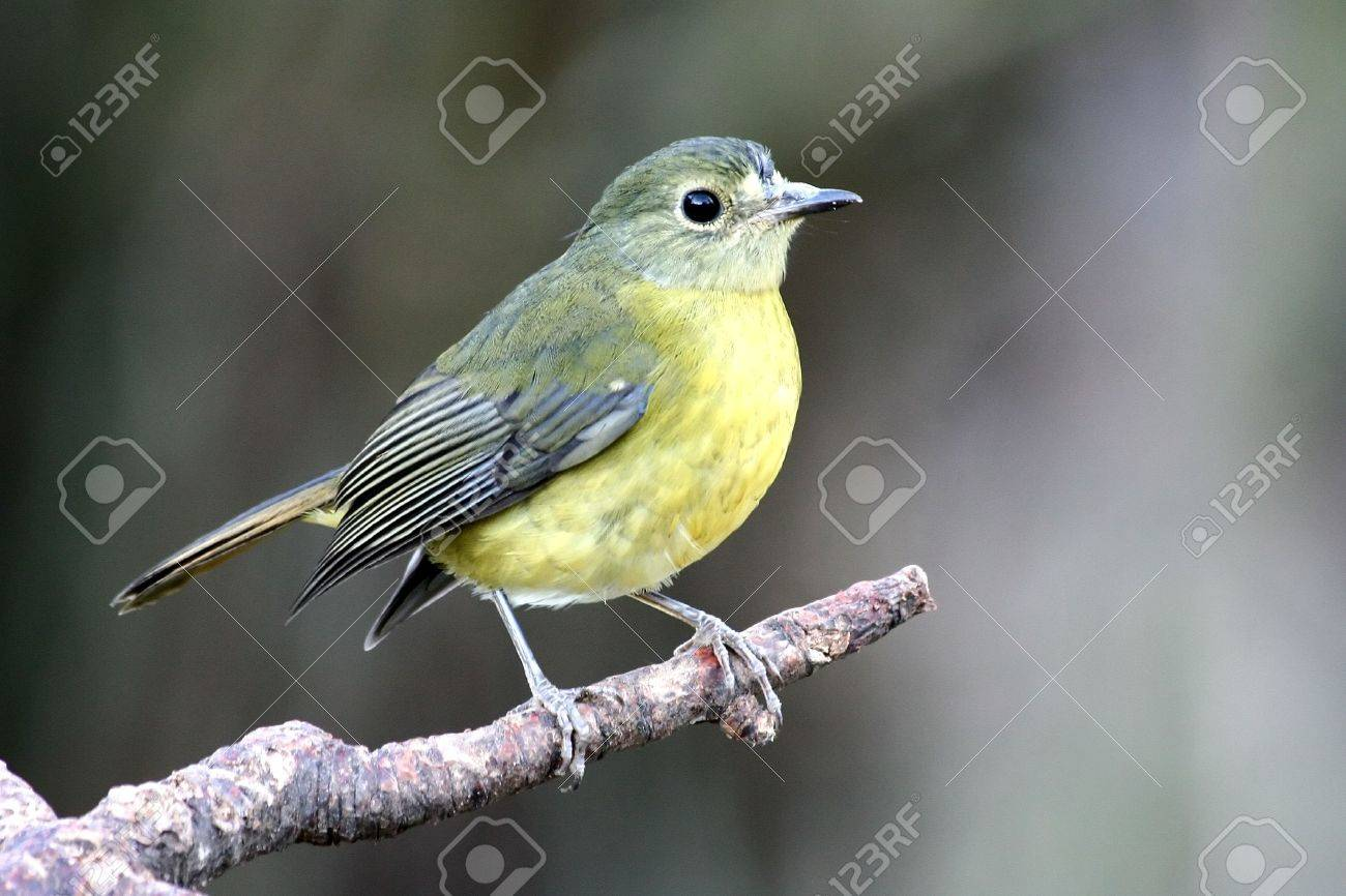 European Goldfinch (Carduelis carduelis) Bird sitting on a tree ...