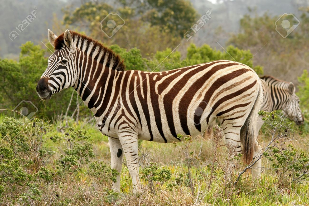 Handsome Burchell's Zebra Standing In The African Bush Stock Photo ...