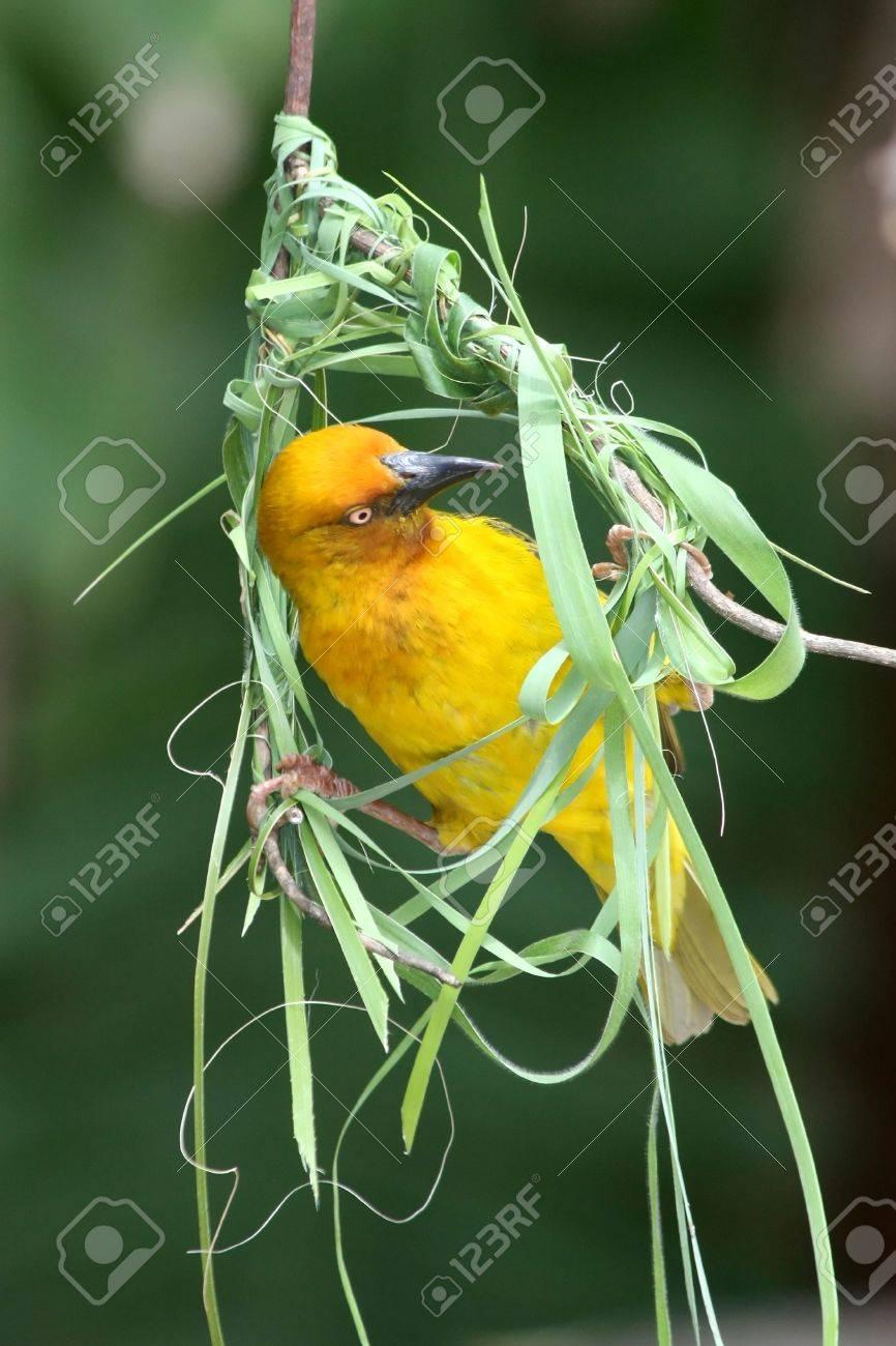 Cape Weaver Bird Busy Building It S Woven Nest Stock Photo