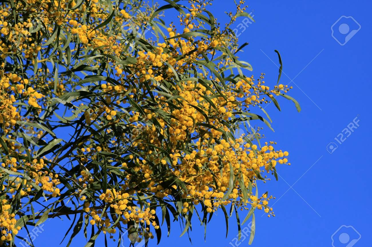 Yellow Blooms Of The Wattle Tree Against Blue Sky Stock Photo