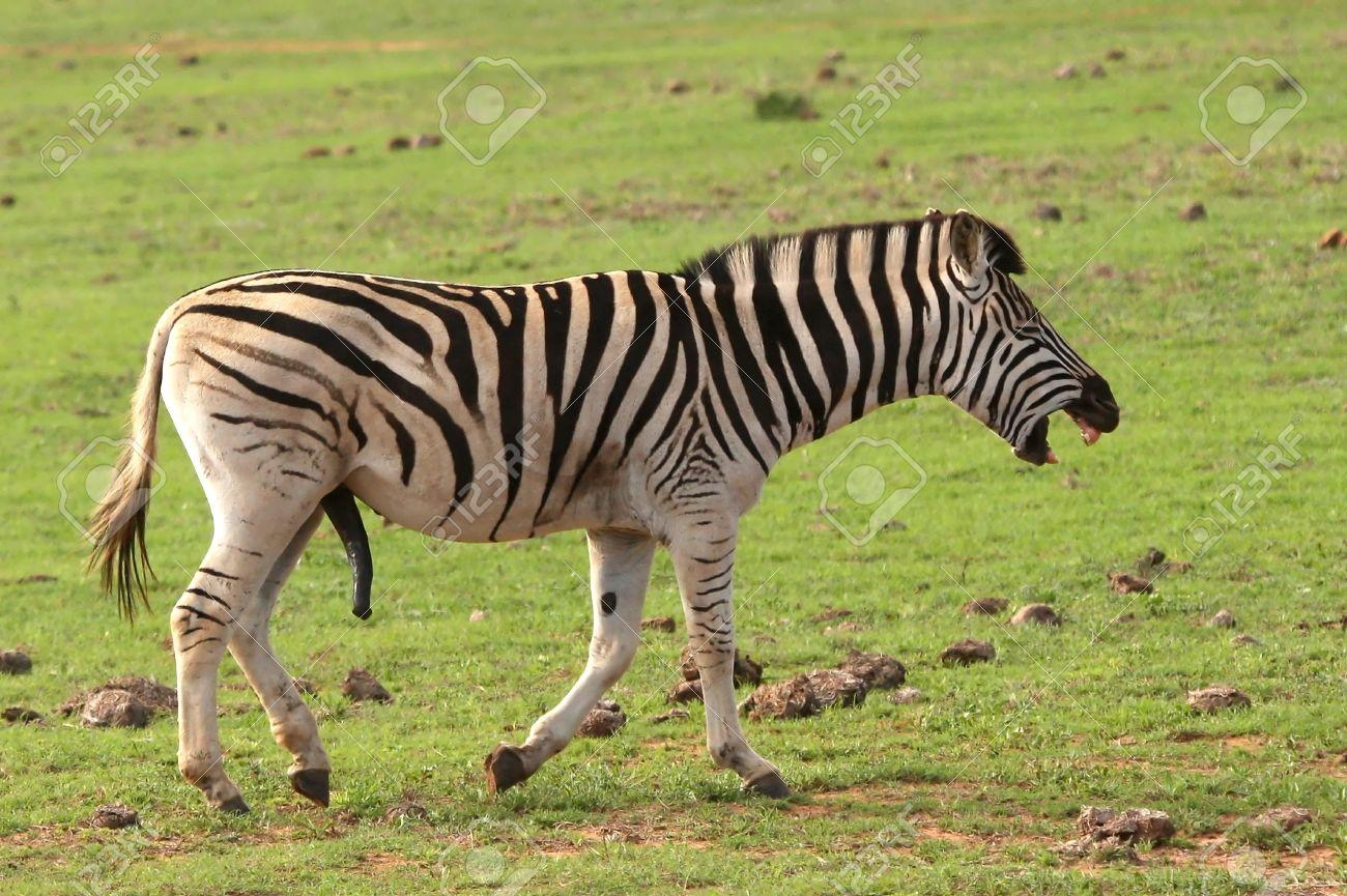 Bien connu Funny Zebra Maschio Con Il Pene Di Grandi Dimensioni E Aspetto Di  NZ47