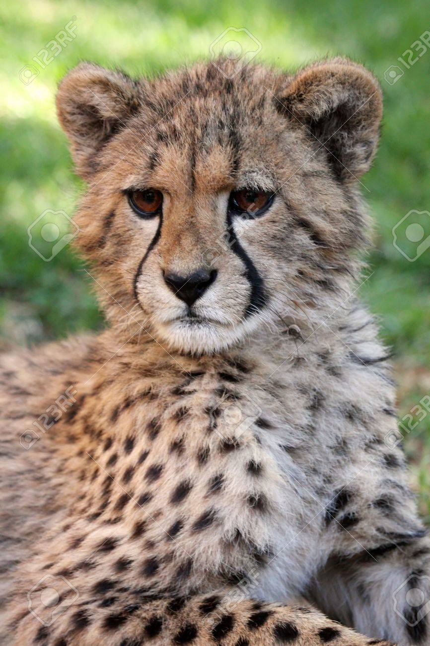 portrait of a cute baby cheetah with large brown eyes stock photo