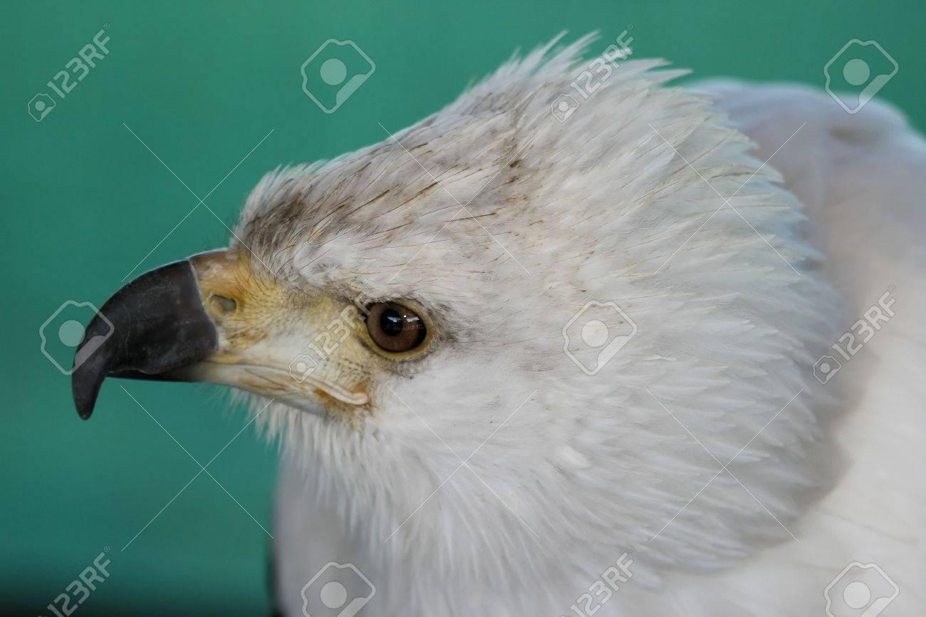 Fisch Eagle Raptor Vogel Mit Großen Haken Schnabel Lizenzfreie Fotos