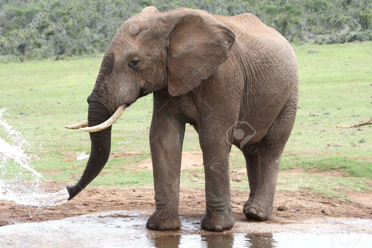 African elephant drinking at a water hole Stock Photo - 8137632