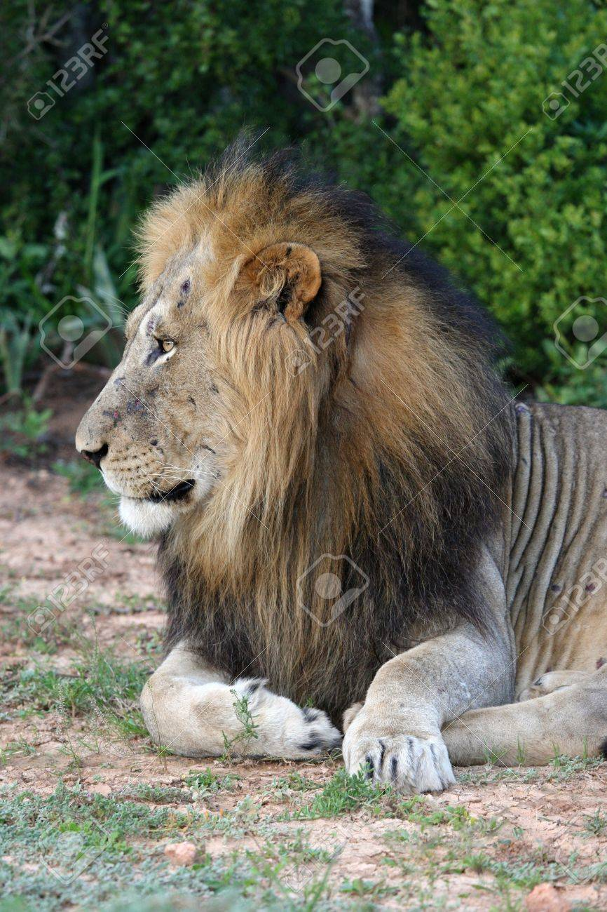 Profile of a handsome male lion with battle scars on his face Stock Photo - 9828030
