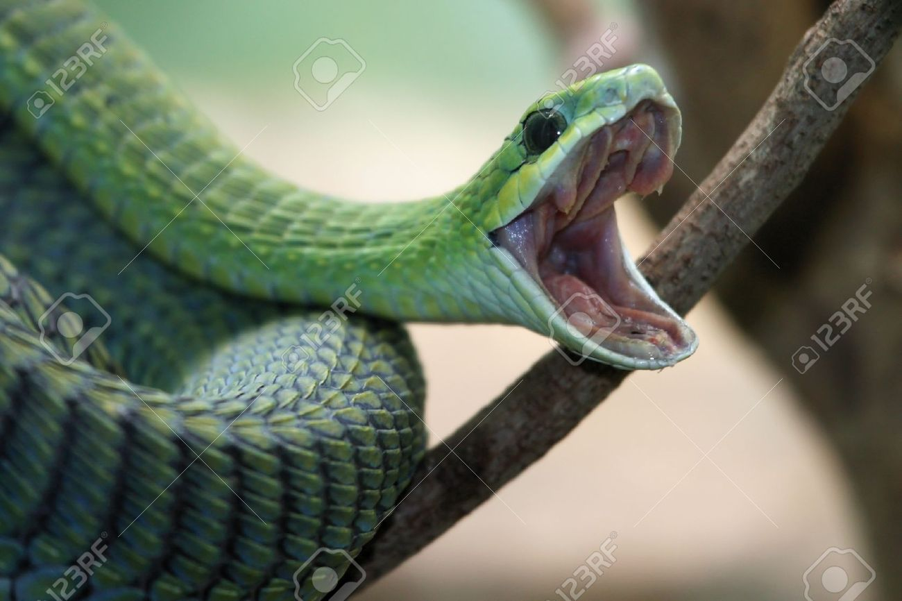 Venomous green boomslang snake with mouth open and coiled to strike Stock Photo - 10451371