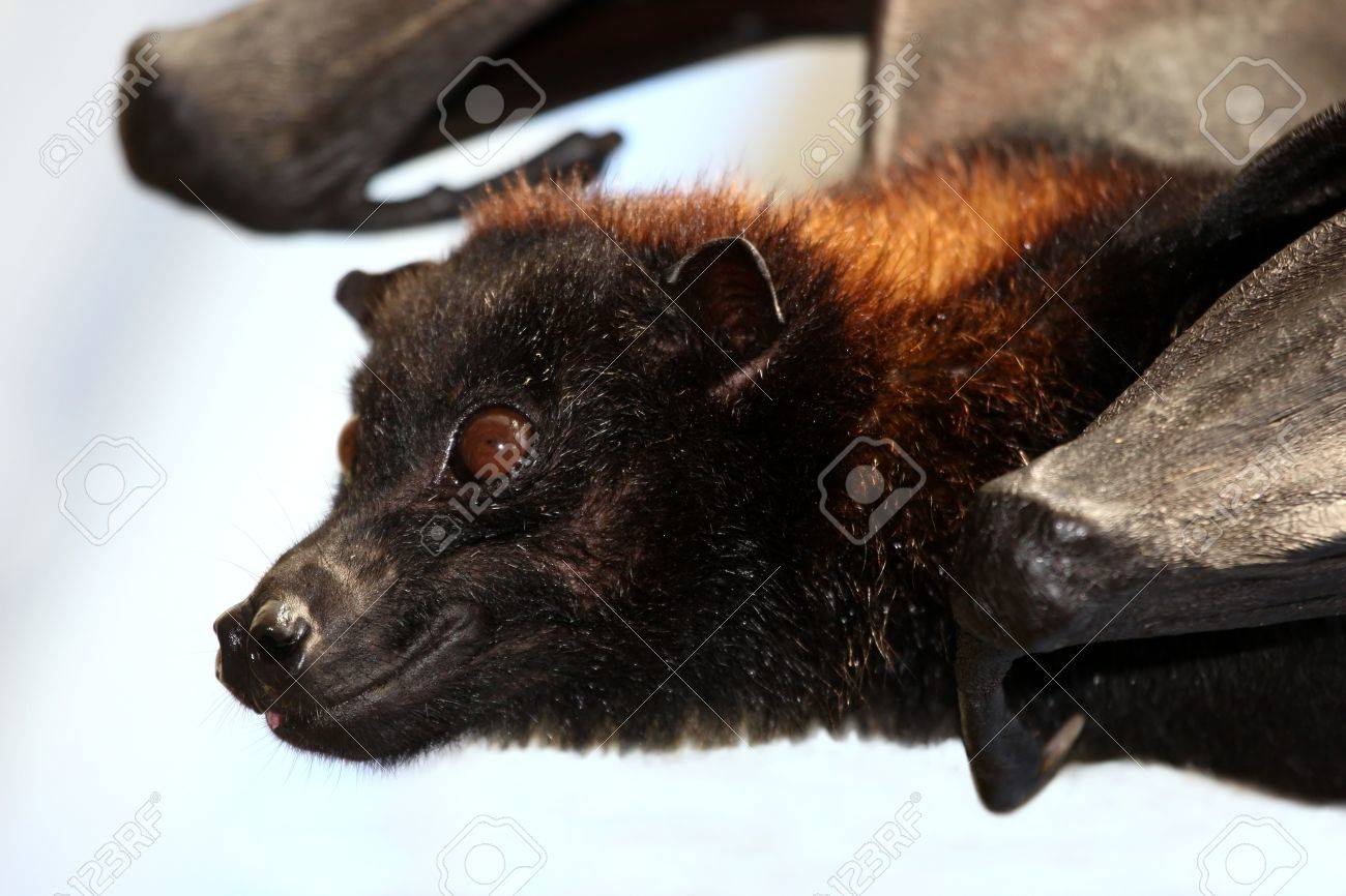 Flying Fox Fruit bat with brown fur and big round eyes Stock Photo - 11230563