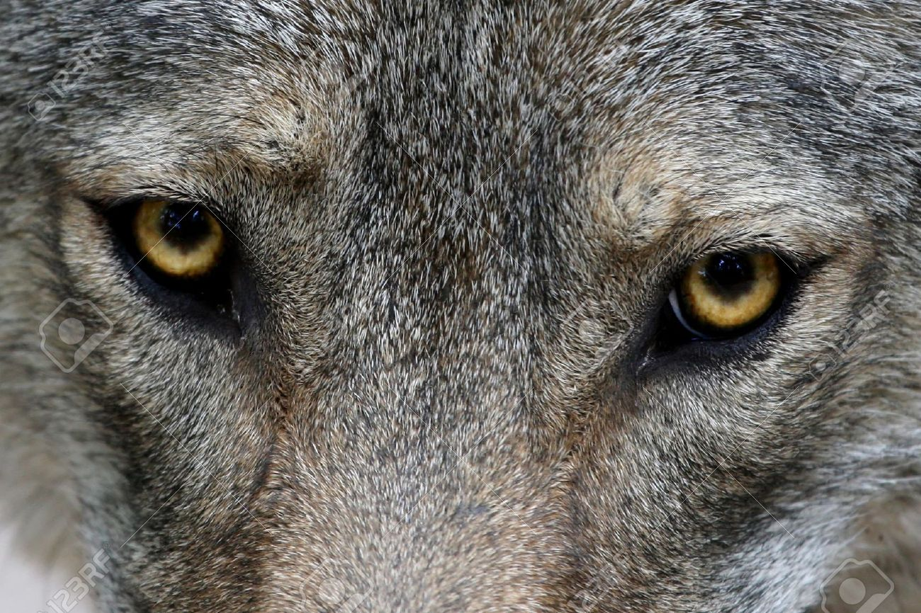 Close Up Of The Yellow Eyes Of A Timber Wolf Stock Photo Picture And Royalty Free Image Image 11230571