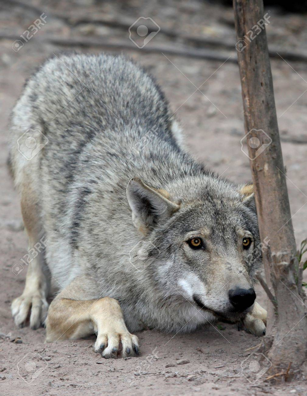 Timber or grey wolf crouched and about to pounce Stock Photo - 11744354