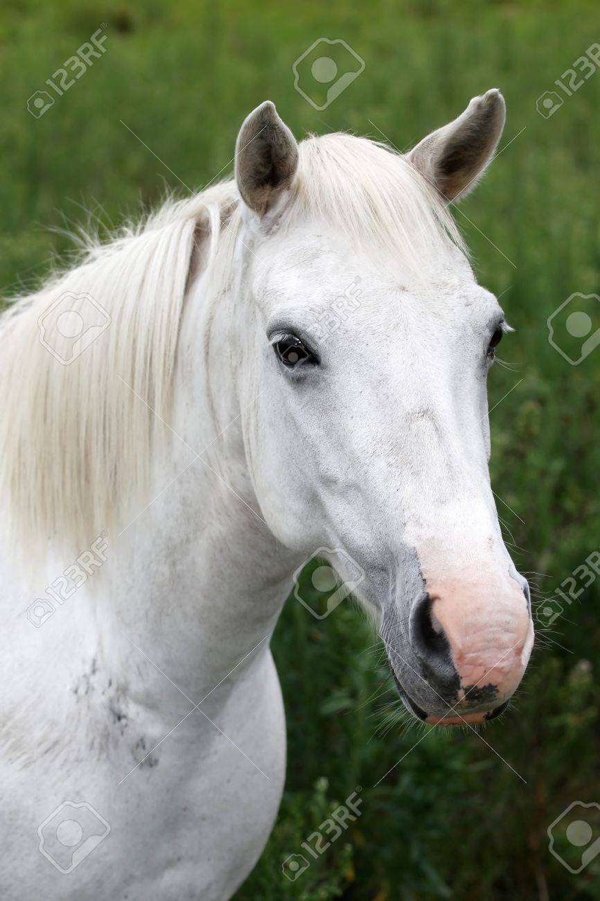 Portrait Of A Beautiful White Horse With Pink Nose Stock Photo Picture And Royalty Free Image Image 12705017