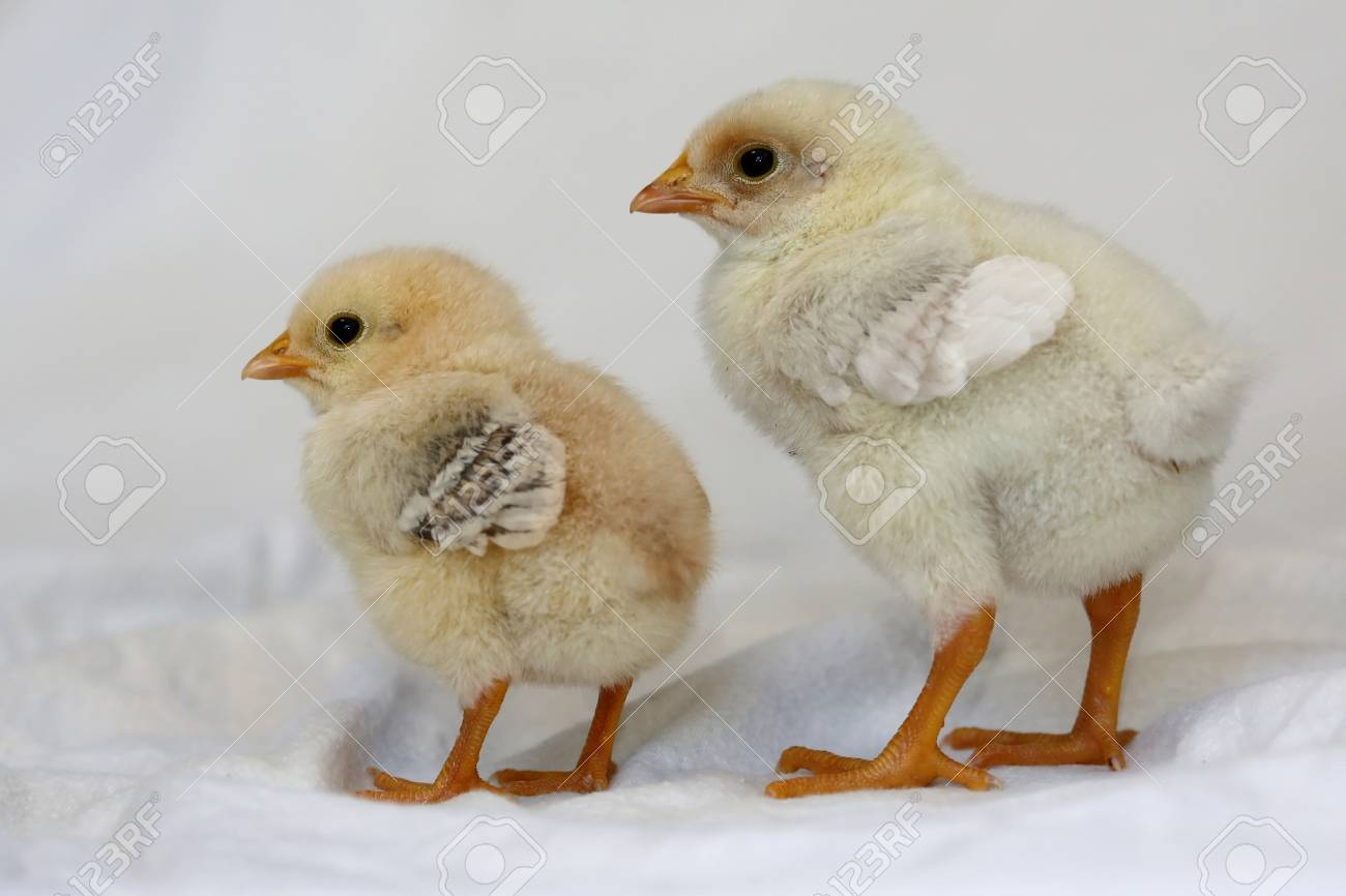 Two Small Yellow Baby Chickens With Soft Feathers Stock Photo