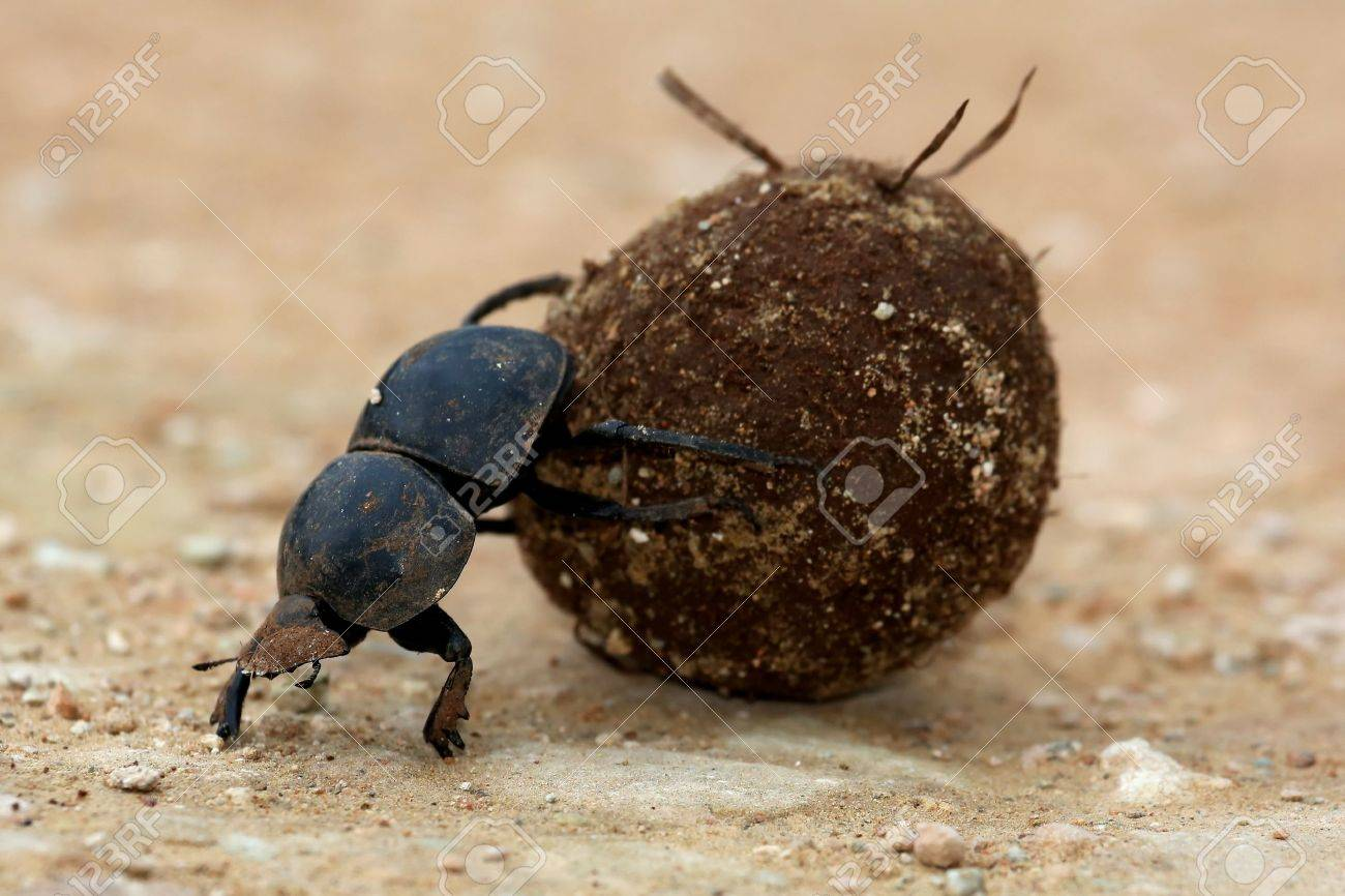 Rare Flighless Dung Beetle Rolling Ball of Dung for Breeding - 23418632