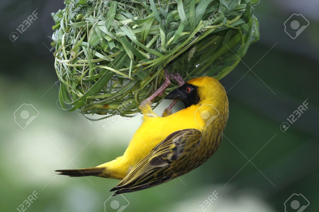 Masked Weaver Bird hanging from it's nearly completed nest - 24964119