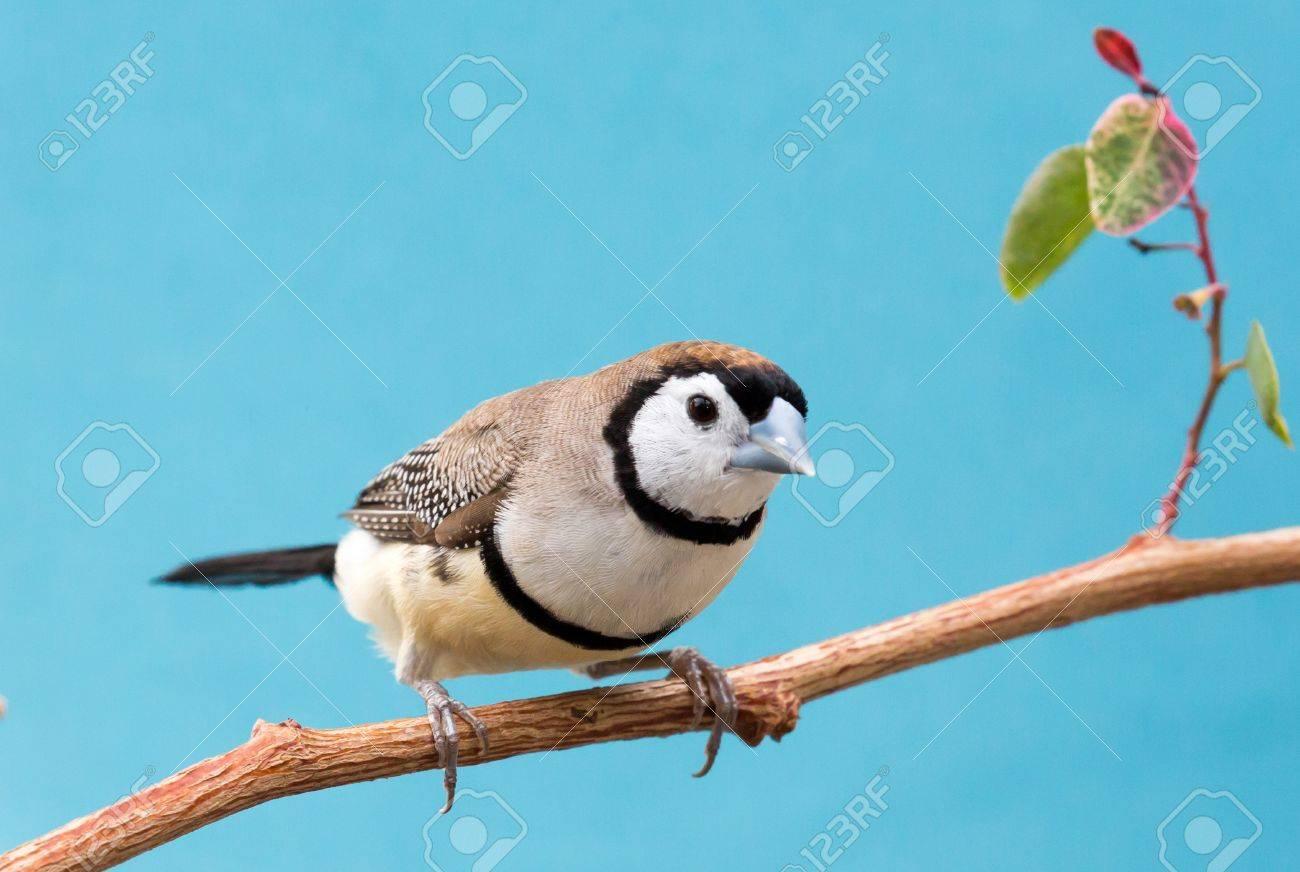 Schöne Eule Finken Vogel Aus Australien Lizenzfreie Fotos Bilder