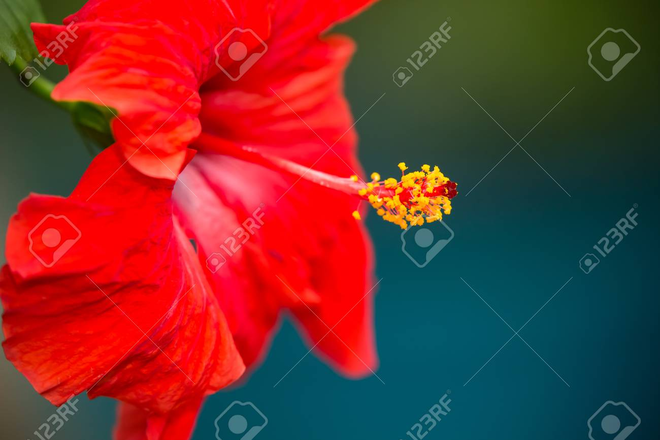 Beautiful Red Hibiscus Flower With Yellow Stamens And Pollen Stock