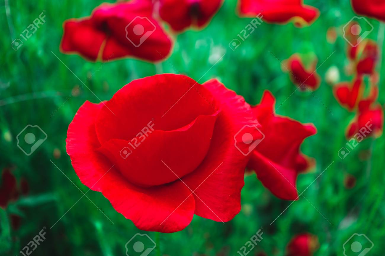 Beautiful Colorful Red Poppy Flowers On The Meadow A Bush Of