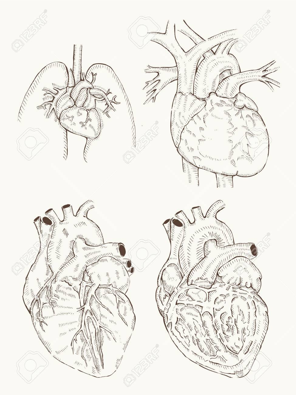 Heart Anatomy Hand Draw Royalty Free Cliparts Vectors And Stock