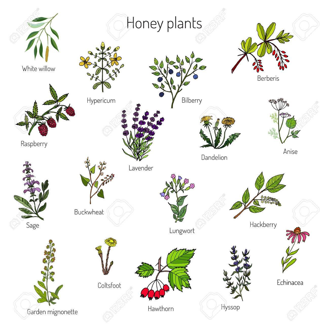 Image source plantsam com - Plants Nectar Sources For Honey Bees Vector Set Stock Vector 64082375