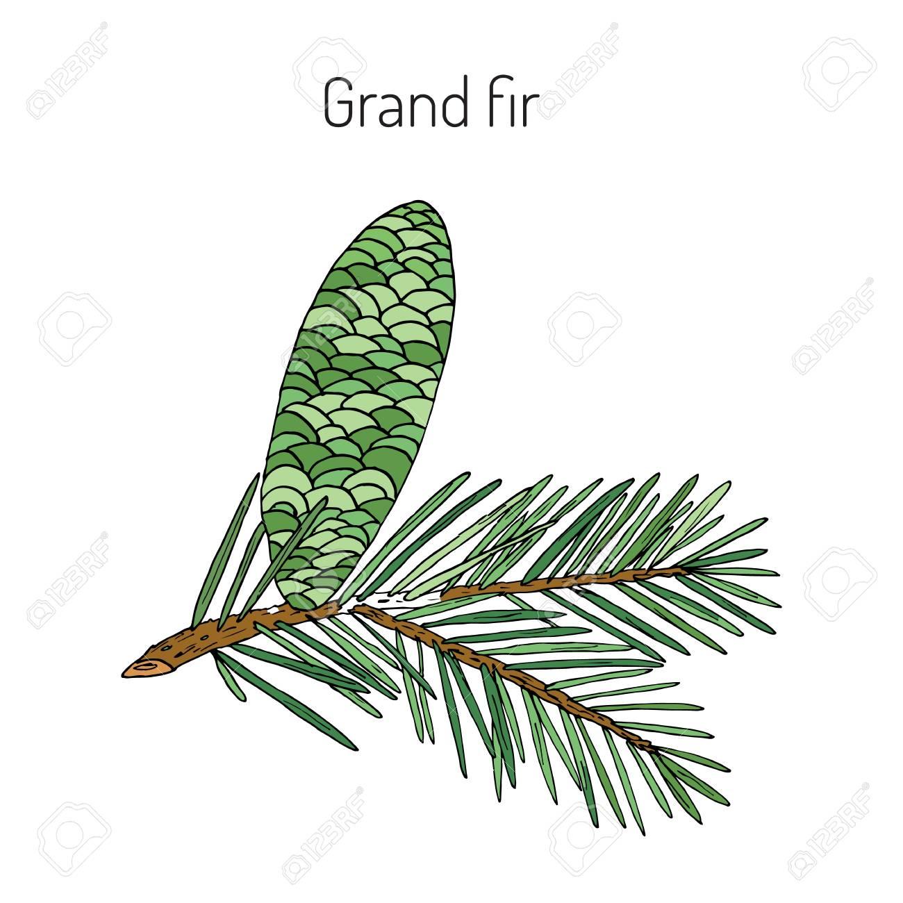 Great Silver Fir Or Grand Fir Abies Grandis Vector Illustration