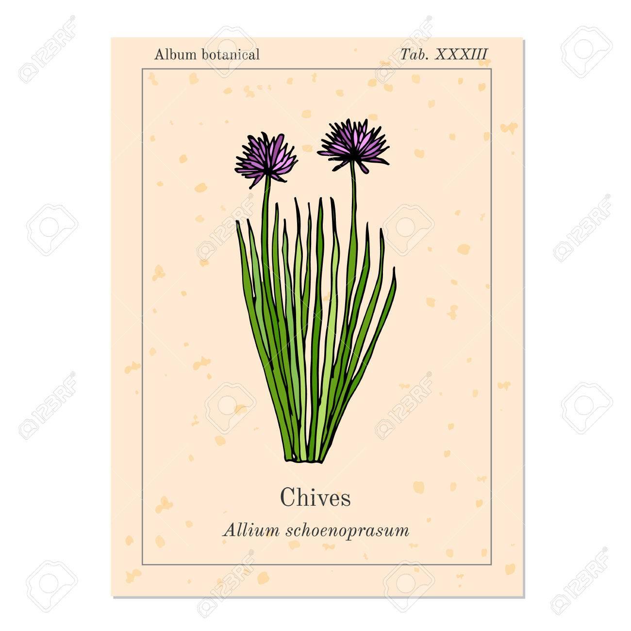 Ciboulette Aux Herbes Medicinales Et De Cuisine Page Du Livre Ancien Illustration Vectorielle
