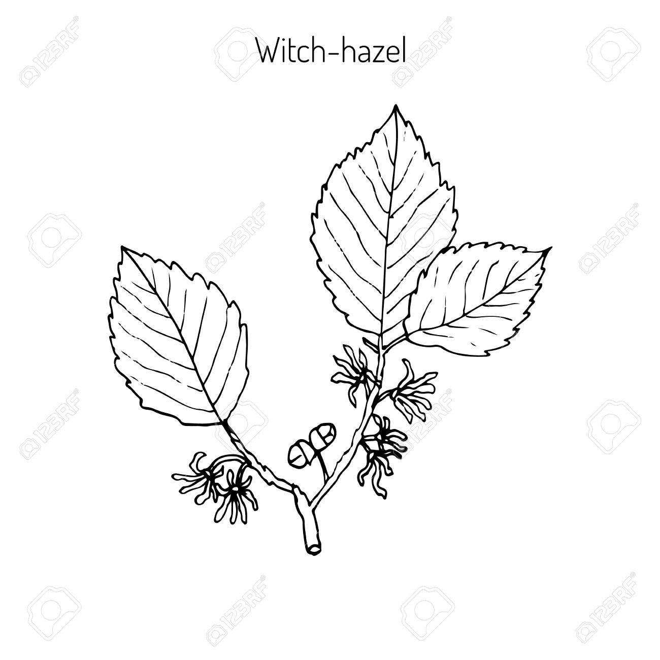 Branch Of A Witch Hazel Medicinal Plant Hamamelis Vector