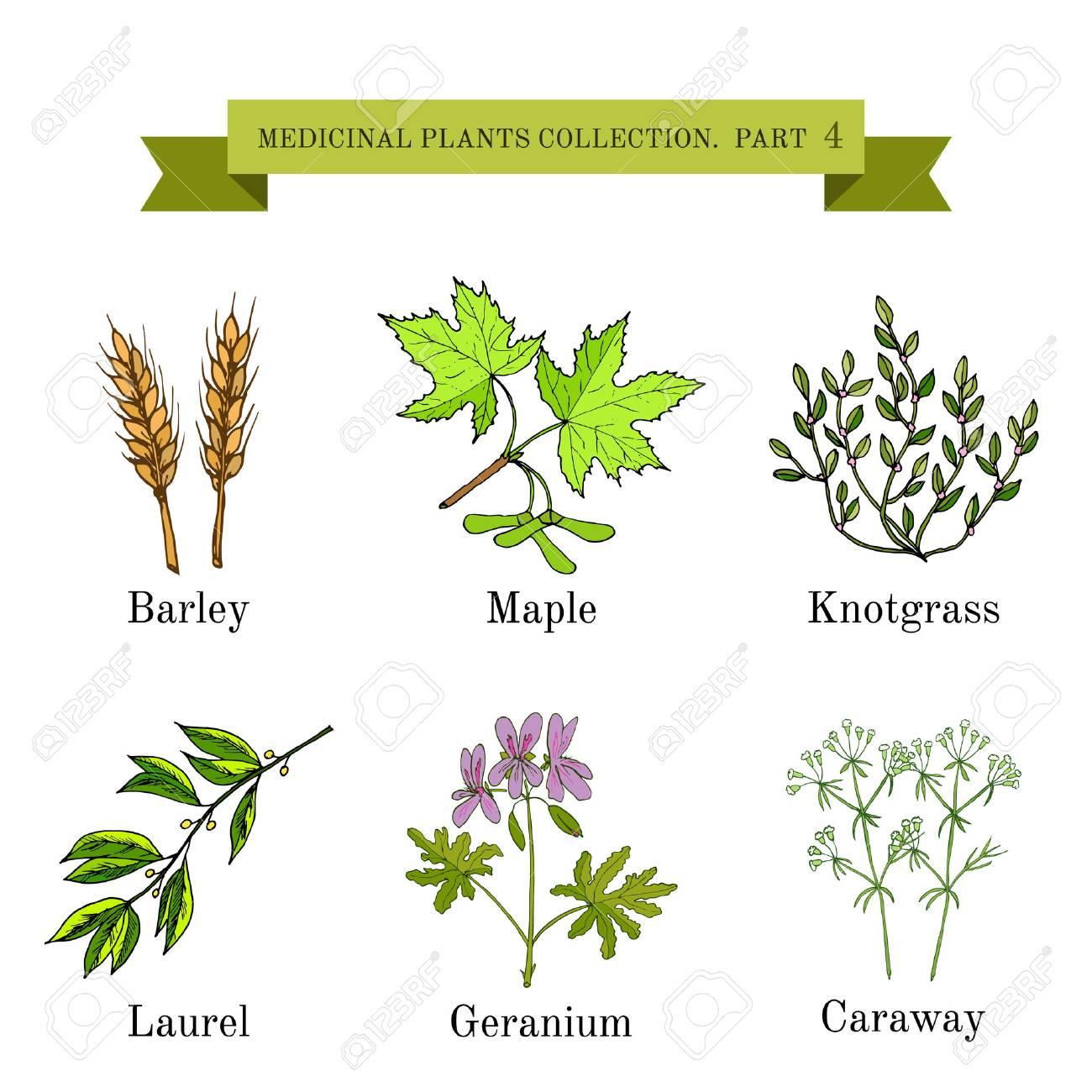 Recogida De La Cosecha De Hierbas Y Plantas Medicinales Dibujadas ...
