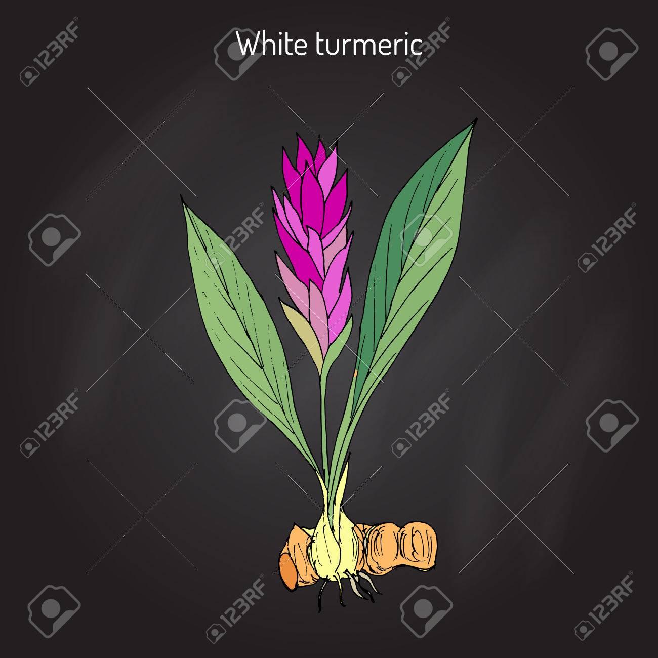 Curcuma zedoaria, zedoary, white turmeric or kentjur in black background. - 73689837