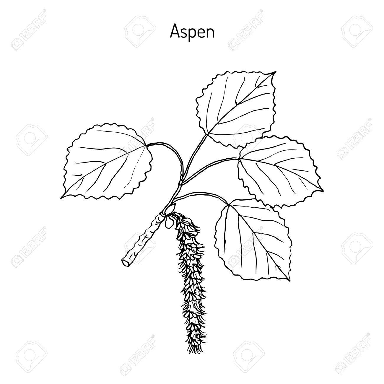 Aspen (Populus tremula), or common aspen, Eurasian aspen, European aspen, quaking aspen. Hand drawn botanical vector illustration - 73691842