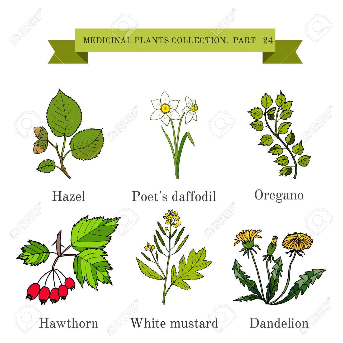 Vintage Collection Of Hand Drawn Medical Herbs And Plants Hazel