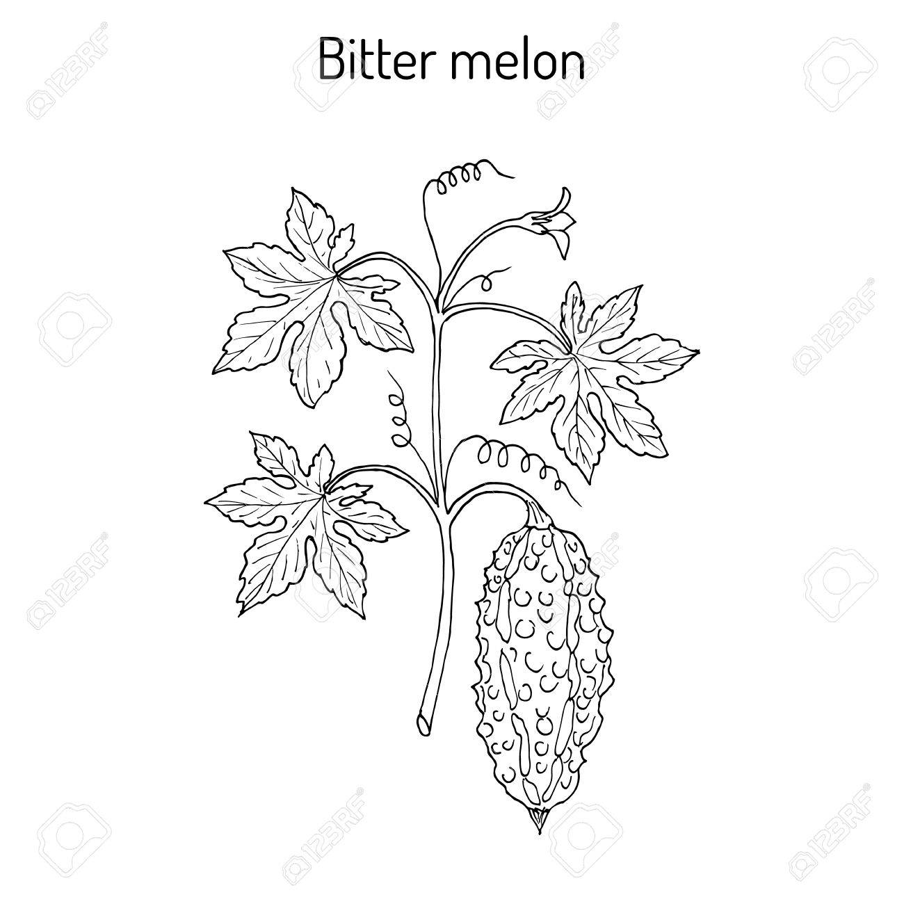 Bitter melon, or balsam-pear Momordica charantia - 74784409