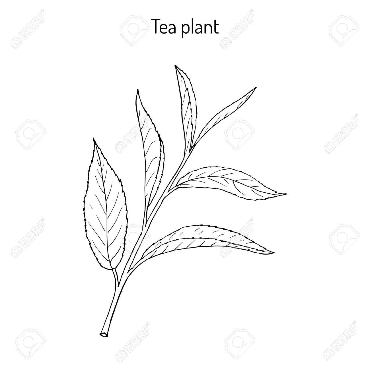 Tea Plant Camellia Sinensis Hand Drawn Botanical Vector Illustration Stock