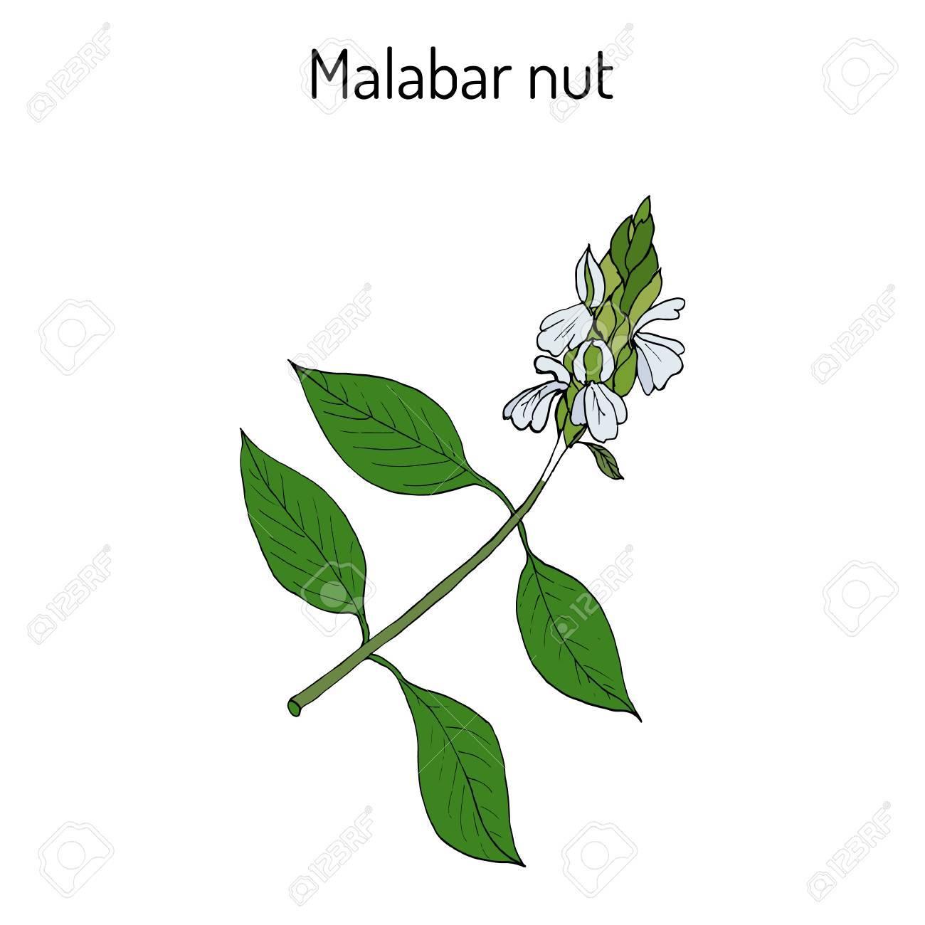 Malabar nut Justicia adhatoda , or adulsa, adhatoda, vasa, or