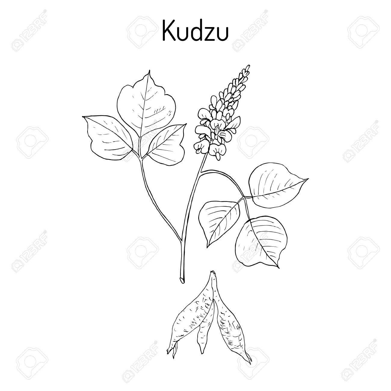 Kudzu pueraria montana , medicinal plant - 74575473