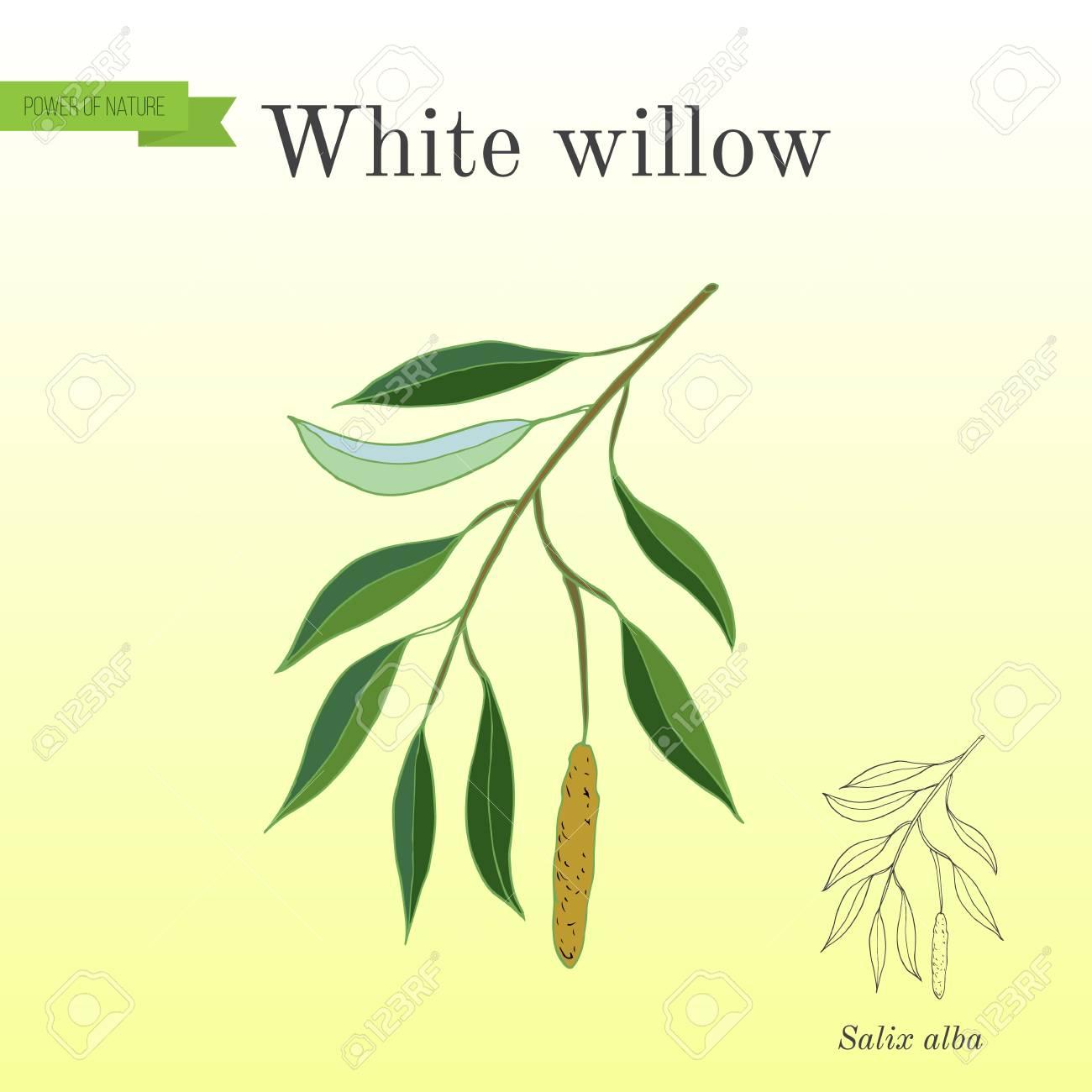 White willow branch salix alba  Hand drawn botanical vector illustration