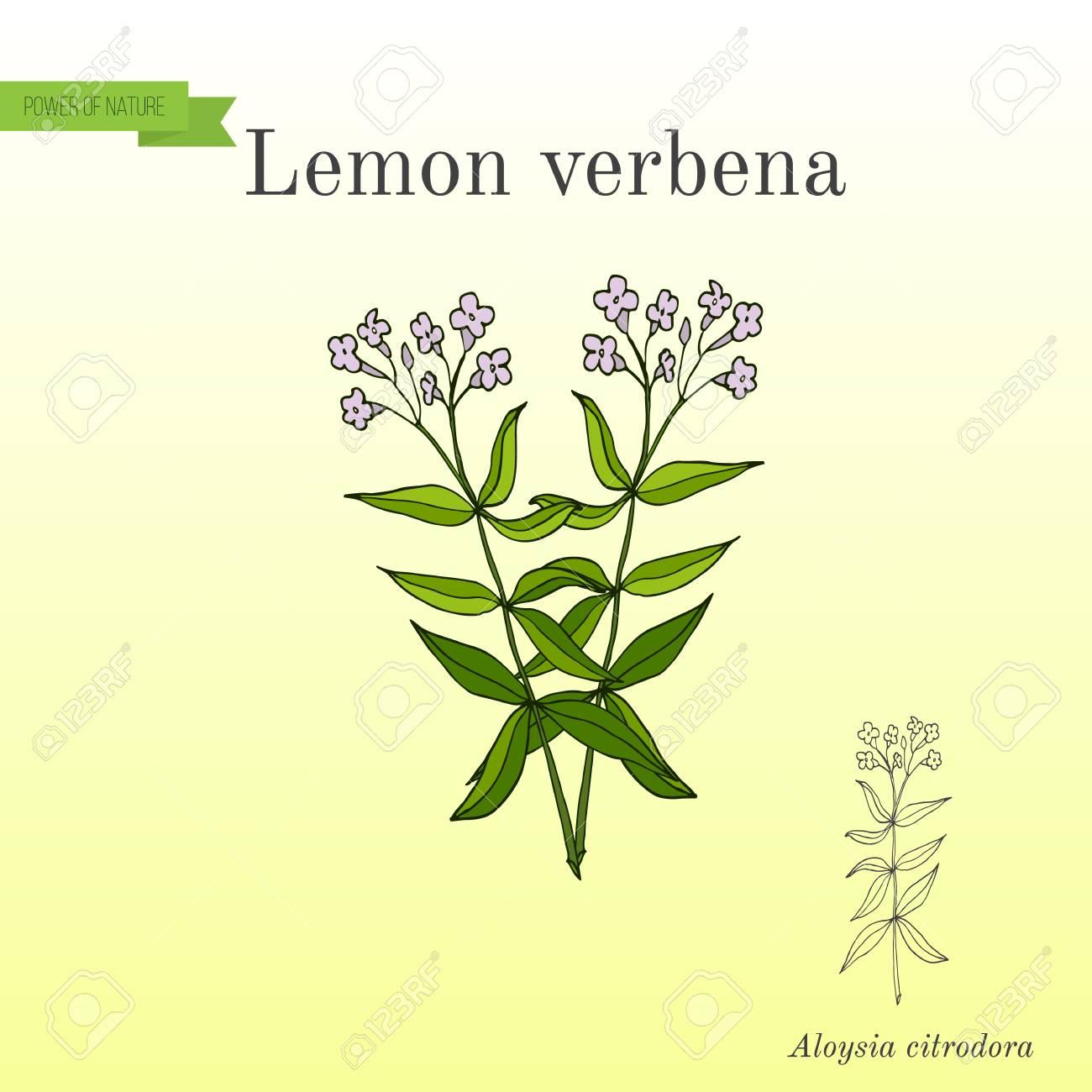バーベナ レモン