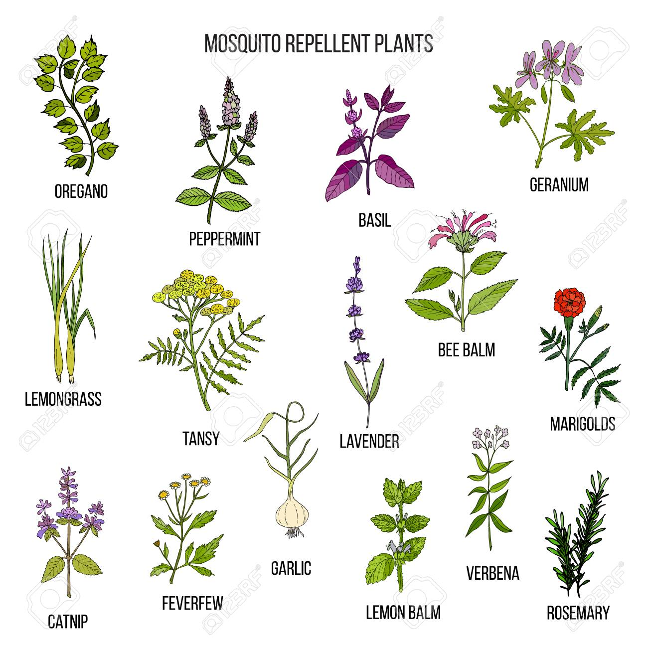 Image result for mosquito repellent plants