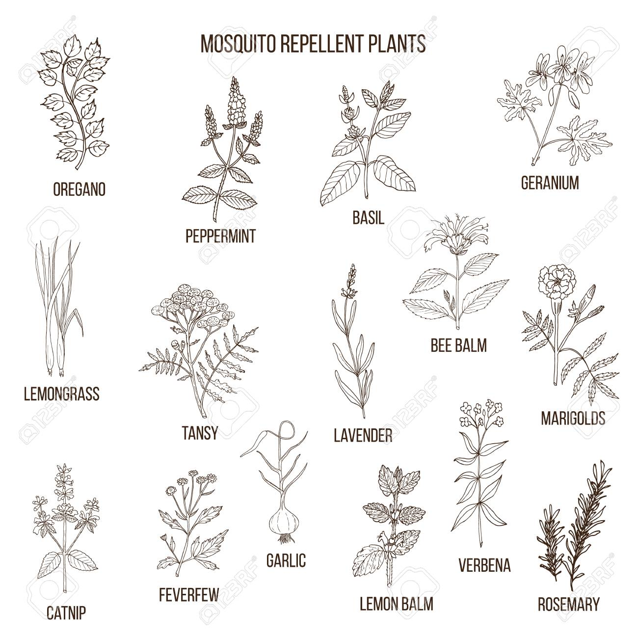 Best Mosquito Repellent Plants Royalty Free Cliparts Vectors And