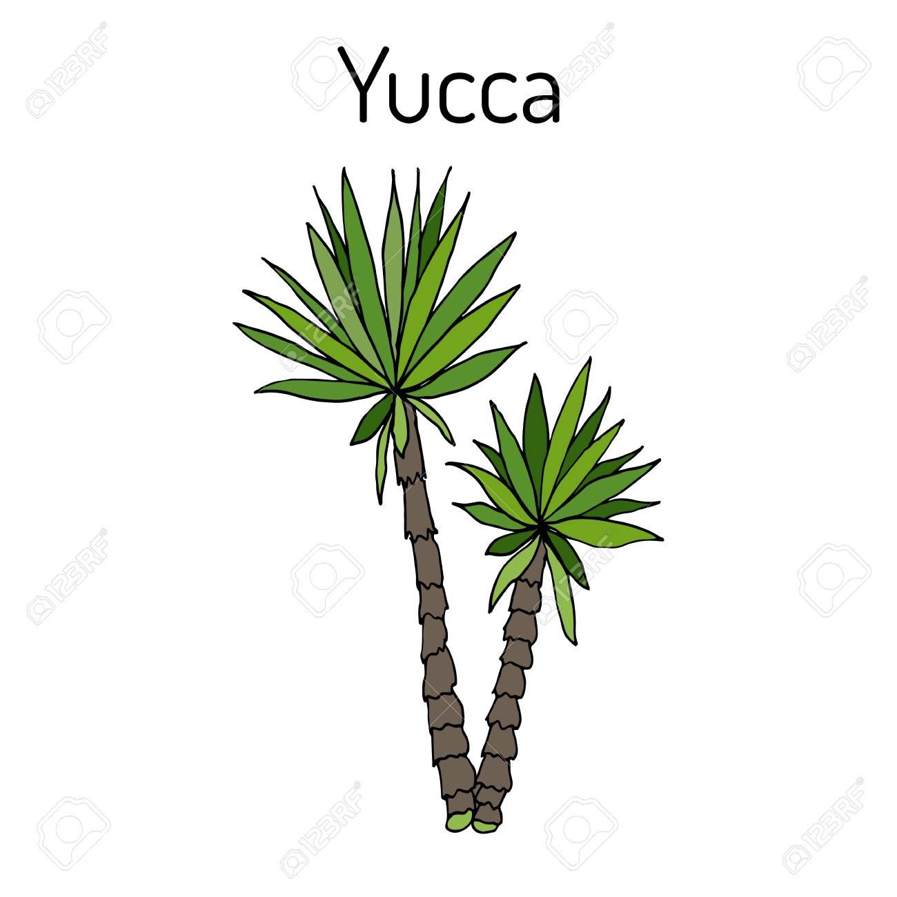 Yucca gloriosa medicinal plant illustration. - 89022654