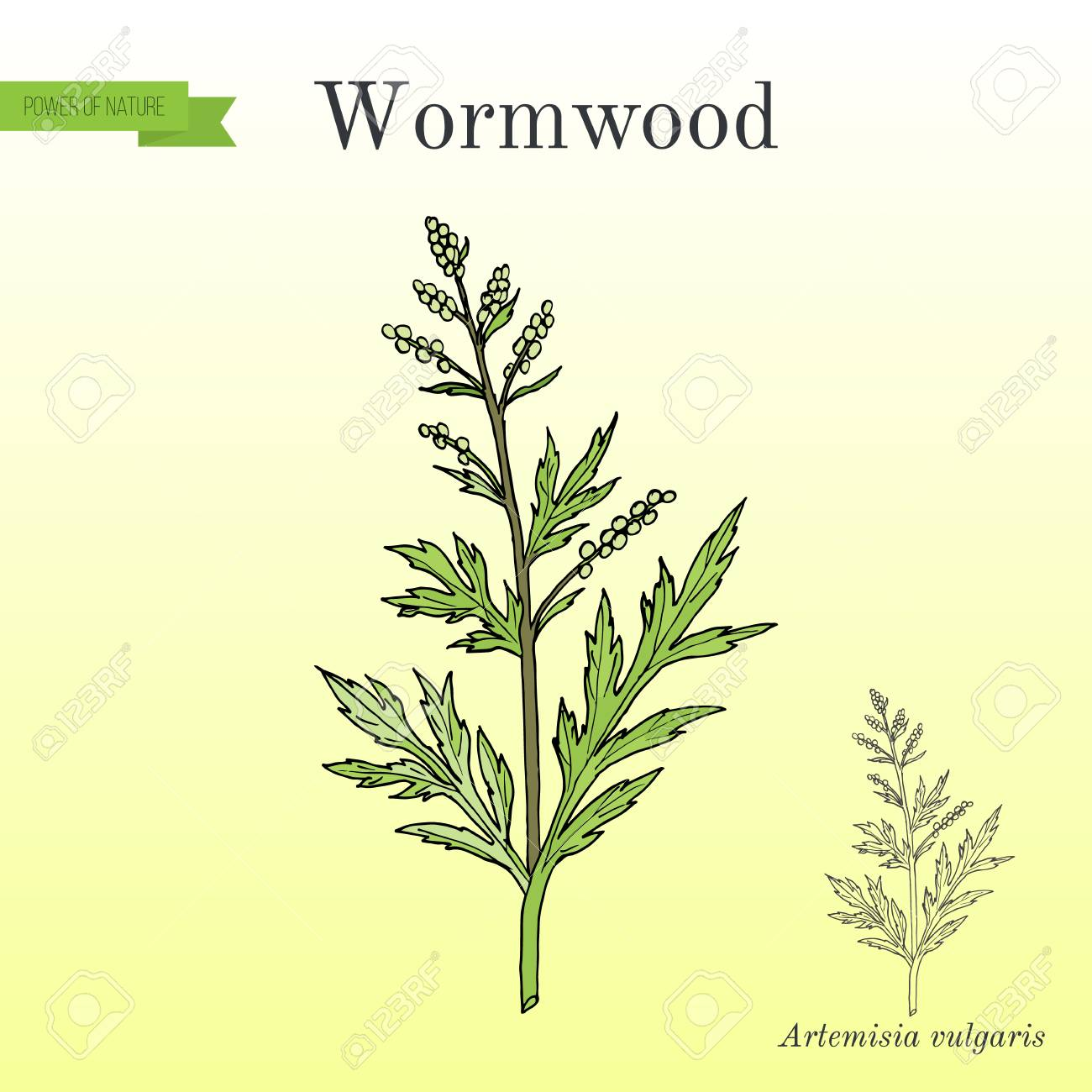 Mugwort, or common wormwood Artemisia vulgaris , medicinal plant