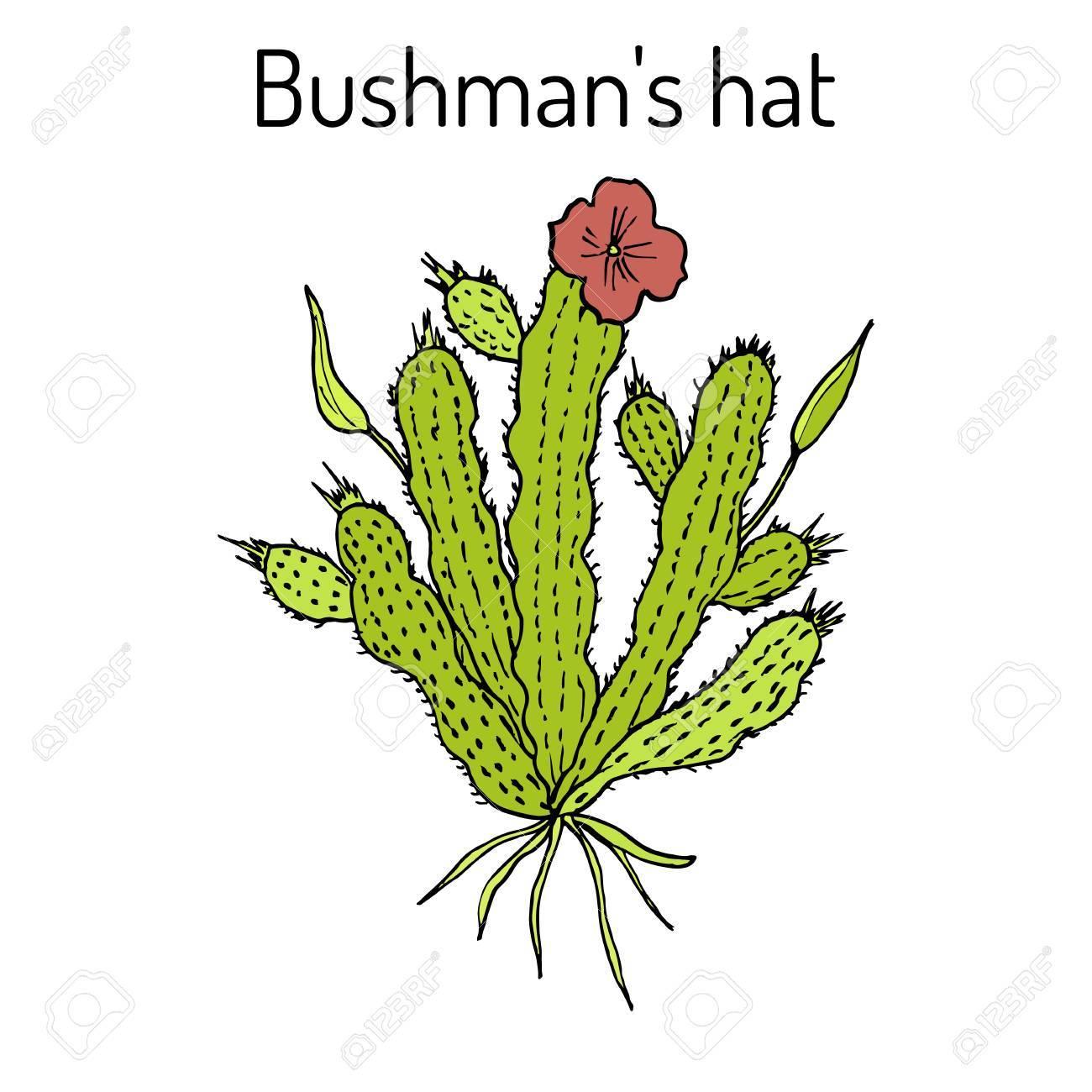 Bushmans Hat Hoodia Gordonii Medicinal Plant Stock Photo