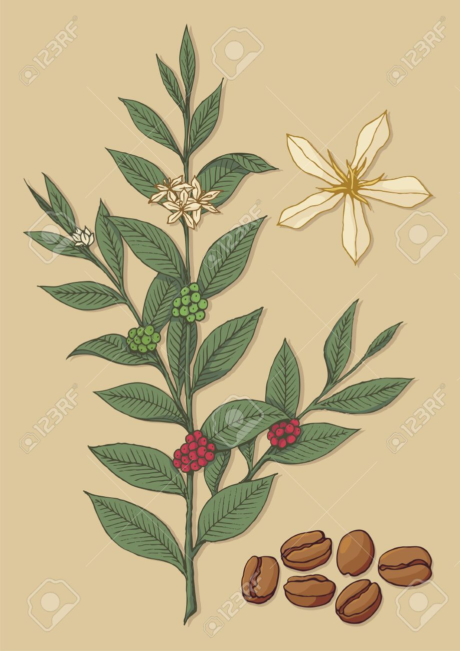 A branch of coffee tree with flower and beans on beige background. Stock Vector - 11092924