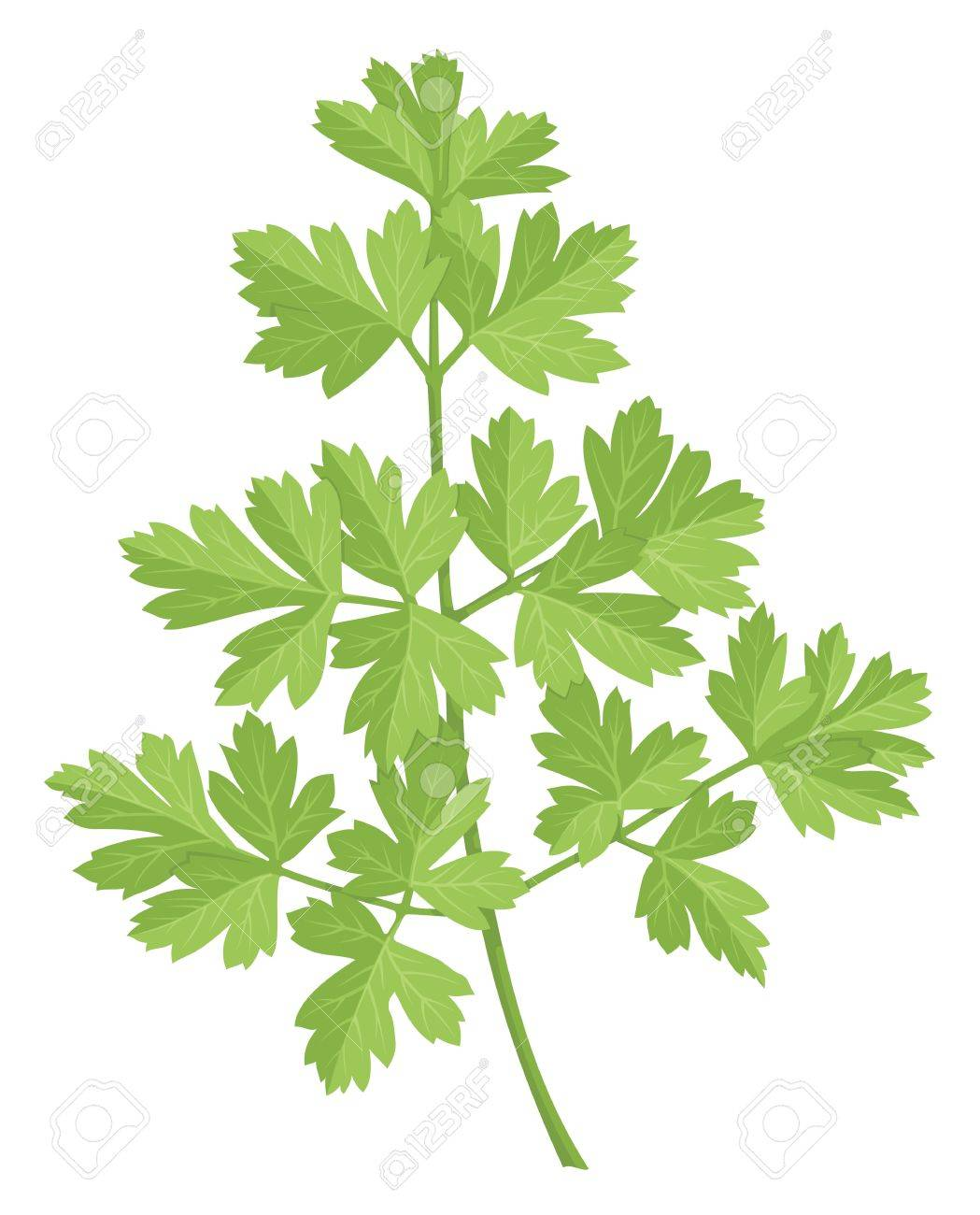 A stem of parsley with green leaves isolated on white background. - 13108676