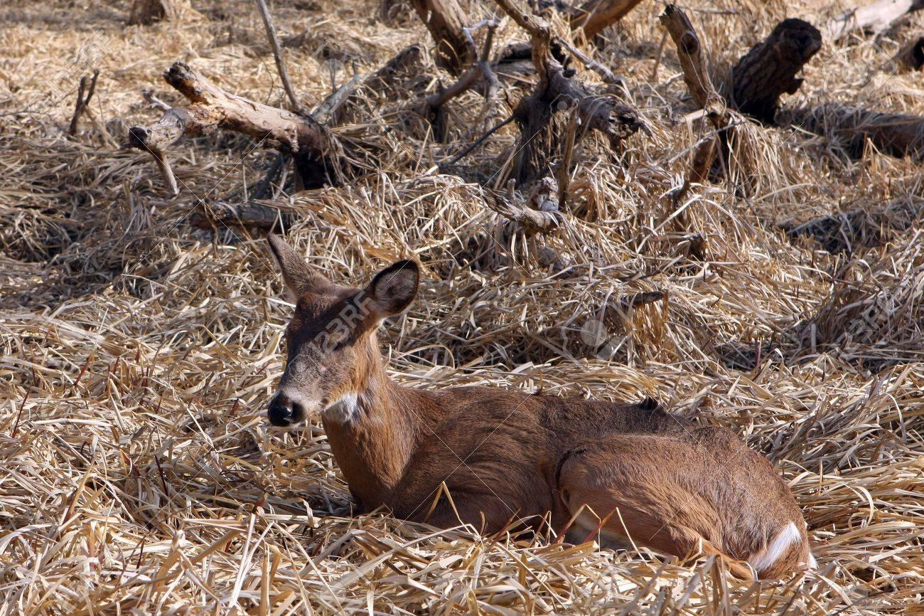 White-tail Deer Young Buck Sleeping In Marsh In Morning Sun Stock Photo - 6834638