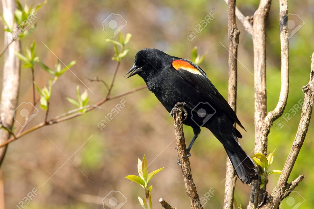 Red-winged Blackbird Male Looking Down Stock Photo - 6936257