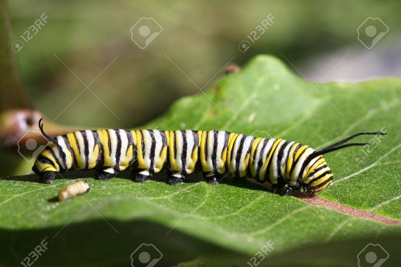 caterpillar monarch butterfly stock photo picture and royalty