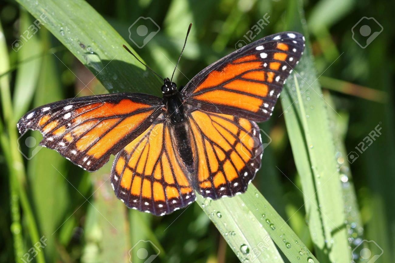 Viceroy Butterfly Limenitis archippus Stock Photo - 7773515