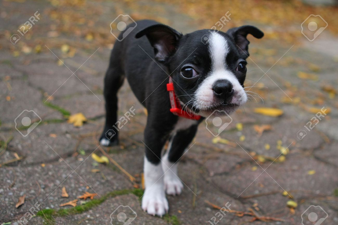 Boston Terrier Puppy Stock Photo - 8124899